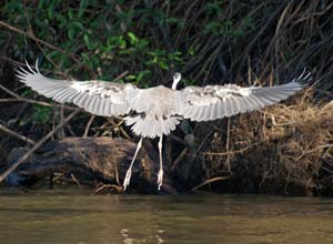 Birdlife in the Pantanal, Brazil