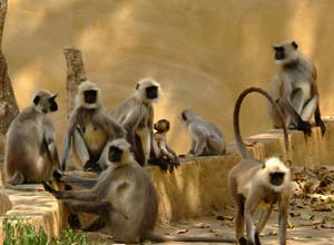 Monkeys, north India
