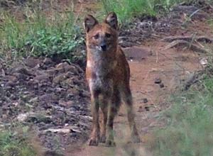 Wild dog in Satpura