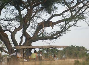 A tree climbing lion on safari, Uganda