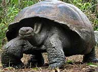 Giant Tortiose