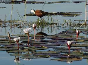 Jacana in Okavango Delta, Botswana