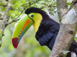 Keel billed toucan in Arenal National Park