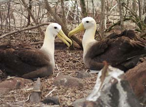 Waved Albatross, Espanola, Galapagos