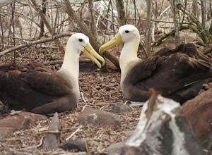 Waved Albatross, Espanola, Galapagos