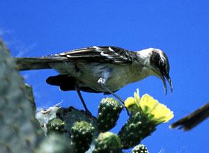 Galapagos mockingbird