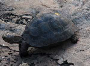 See giant tortoises at the Charles Darwin Research Station