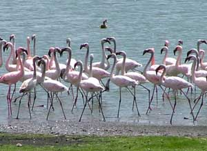 Flamingos on a Rift Valley lake