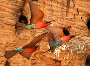 Carmine bee-eaters at South Luangwa, Zambia