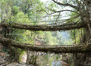 The double decker root bridge