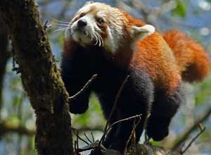 Tree-climbing red panda