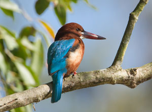 Kingfishers can be seen in the gardens at Koshi Tappu